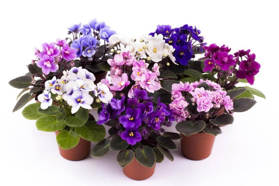 Подробно о том, чем подкармливать фиалки для обильного цветения в домашних условиях
