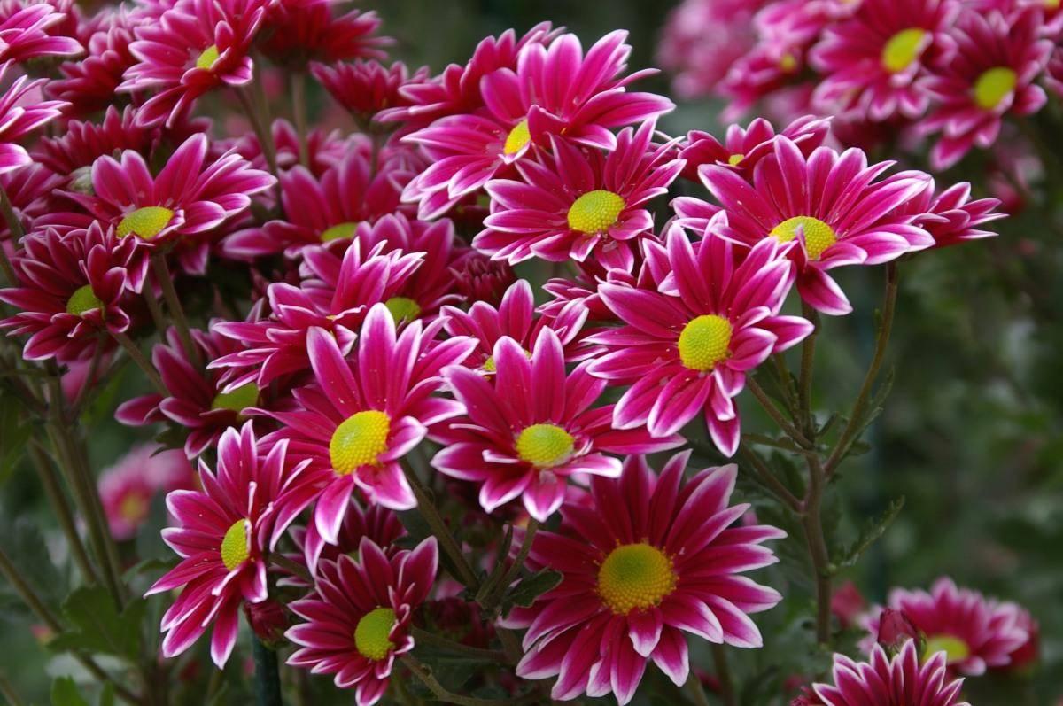 все виды хризантем фото народе растение называют