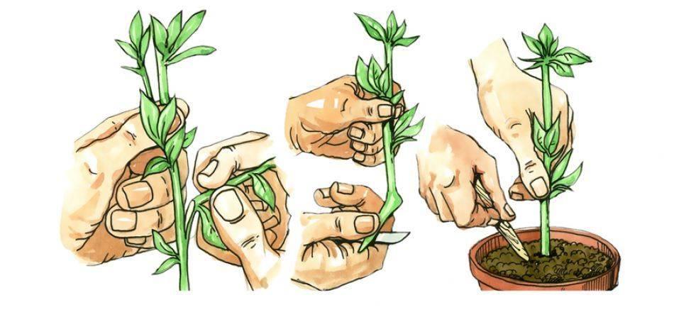 Лапчатка кустарниковая – золотистый кустарник для дачи
