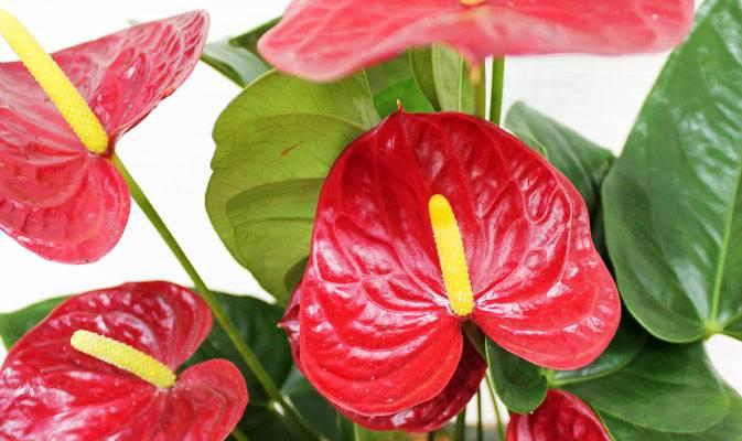 "Антуриум (цветок ""Мужское счастье""): уход в домашних условиях"