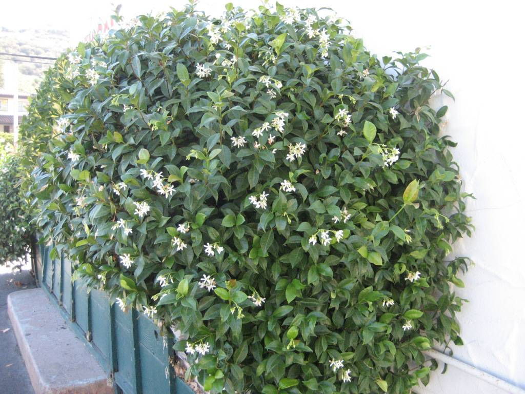 Правильная обрезка жасмина весной