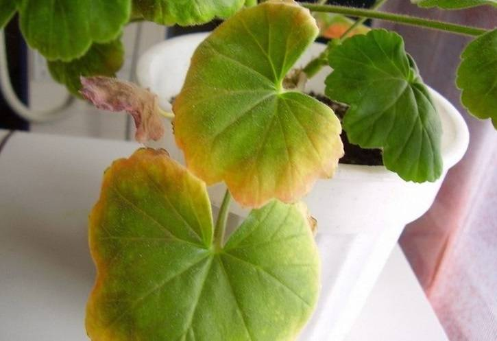 Почему у герани комнатной могут желтеть листки и сохнуть края: что делать