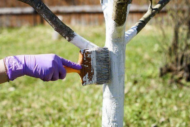 Как разводить гашеную известь для побелки деревьев