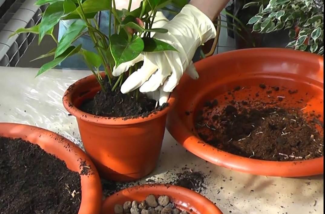 Земля для антуриума: состав грунта, готовим в домашних условиях или используем готовый
