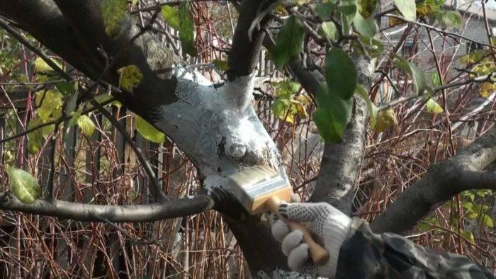 Как обработать деревья побелкой