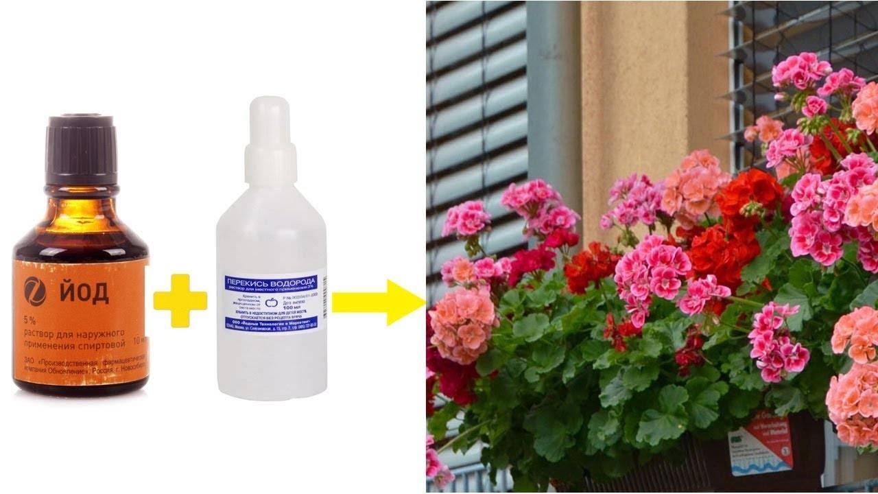 Подкормка герани для обильного цветения в домашних условиях