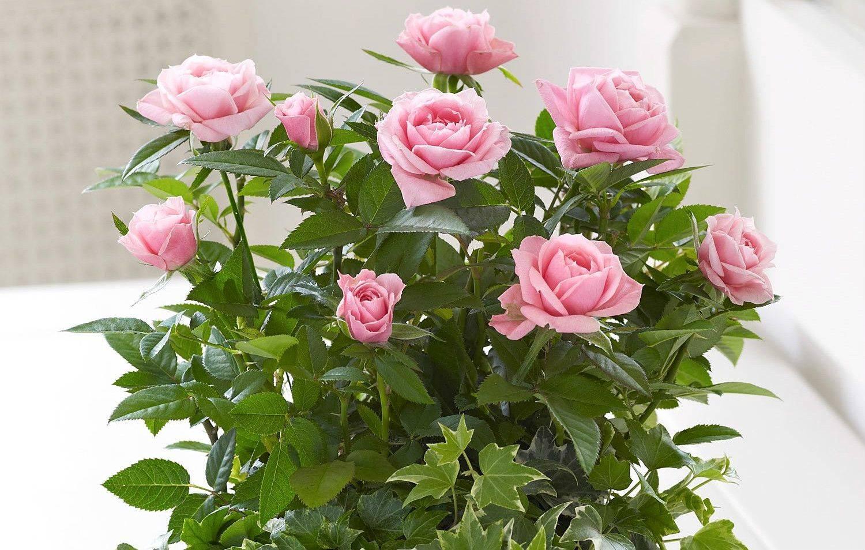 домашняя роза уход в домашних условиях фото методы