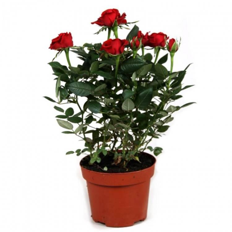 Роза в вазе дала ростки как посадить